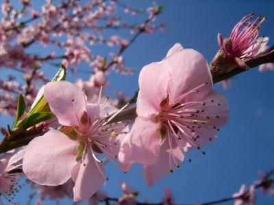 Pfirsichblüte - Ein Traum in rosa