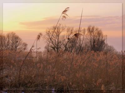 Schilf im Sonnenuntergang 4