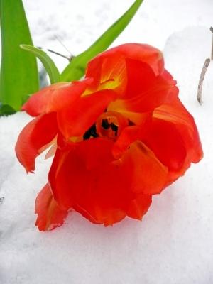Tulpe im Schnee