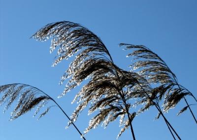 Schilf-Wedel im Wind