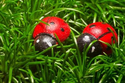 Unechte Marienkäfer im Gras