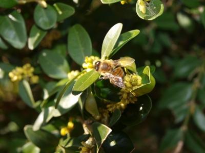 Buchsbaumblüte mit Biene