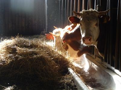 La vache qui ne rit pas