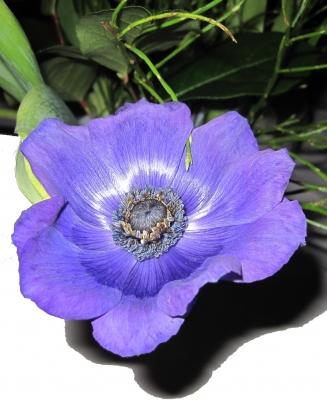 blaue Annemone
