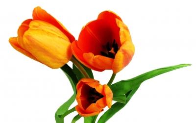 Tulpen freigestellt