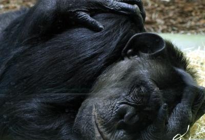 verzweifelter Affe