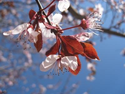 Rotblättrige Kirschpflaume