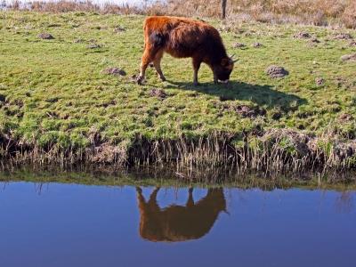 Galloway-Rind im Spiegel