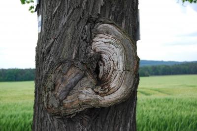 Baum mit großen Ohr