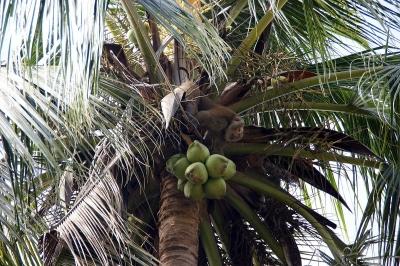 Koh Samui, Kokosnusspflücker