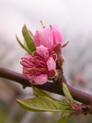 pfirsichblüte .. 2...  alte obstsorte