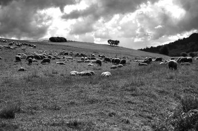 Schafherde in Wiesenlandschaft