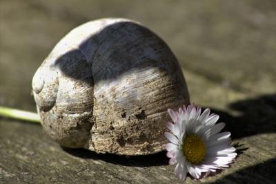 Schneckenblume Blumenschnecke
