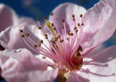blick in eine nektarinenblüte...