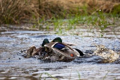 Flotter Dreier eine Ente und zwei Erpel