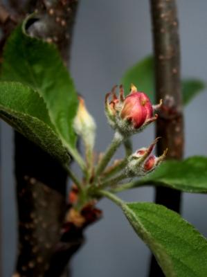 ganz kleine Apfelblüte