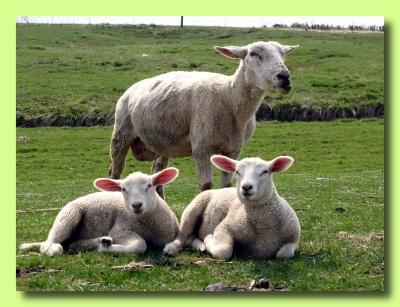 Schafmutter und ihre Zwei !