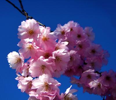 Mandelblüte (Prunus dulcis)