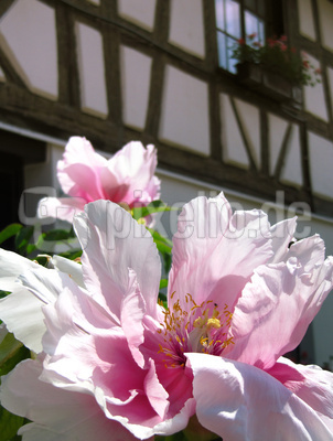 Pfingstrosen-Blüte vor Fachwerk_hoch