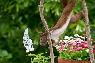 Eichhörnchen am Turnen
