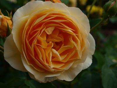 engl. Rose