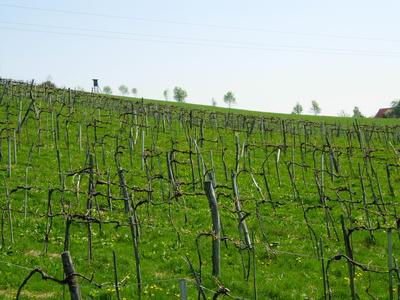 Weingarten, Vineyard