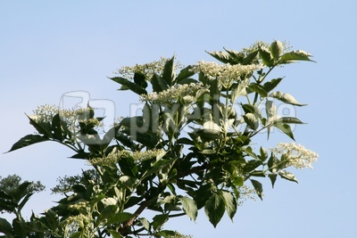 Holunderblüten 1