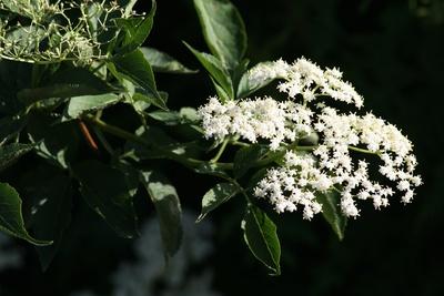 Holunderblüten 2