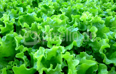 Salatsetzlinge