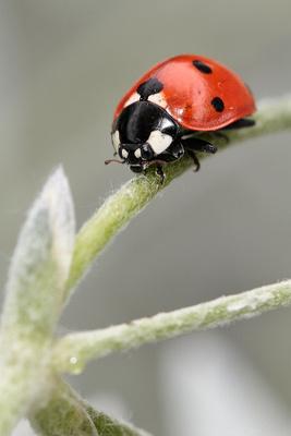 Marie-en-käfer