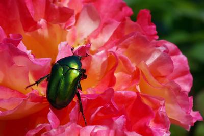 Käfer - Rosenkäfer