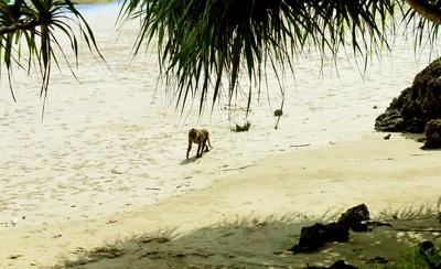 Strandaffe