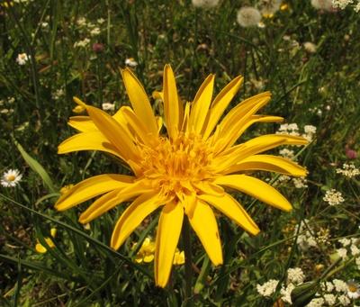 Wiesen-Bocksbart  -  Blütenstern