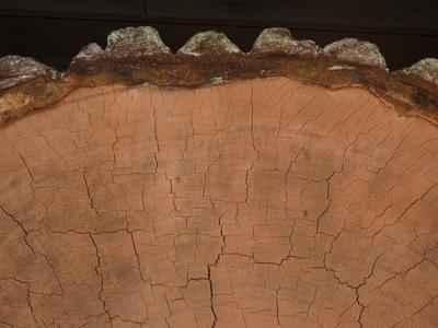 Mammutbaum-Scheibe