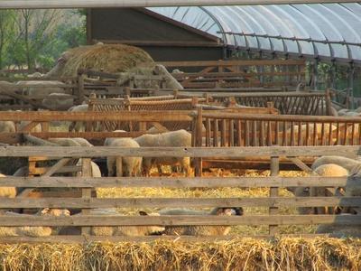 Feierabend der Schafe