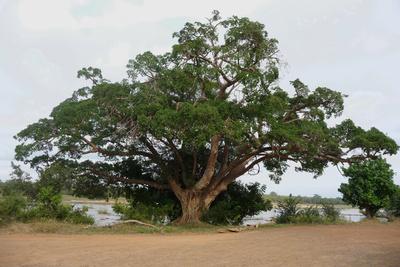 Riesenbaum - Sycamore Fig Tree