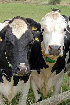 Kühe auf einer Weide am Nonnensee bei Bergen auf Rügen