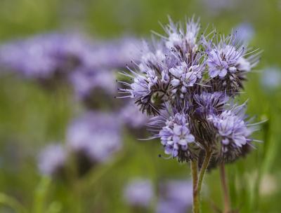 Blühende Phacelia (oder Bienenweide)