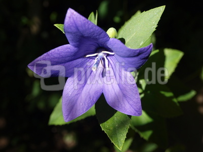 Gartenglockenblume