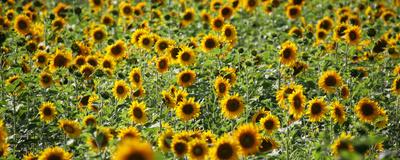 Sonnenblumenfeld schmal