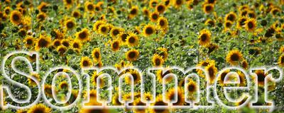 Sonnenblumen-Sommer