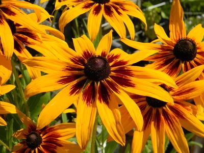 Rudbeckia Autumn color