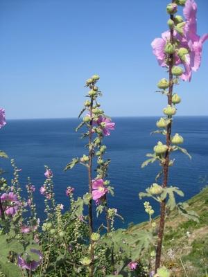 Mediterrane Stockrosen auf den Klippen