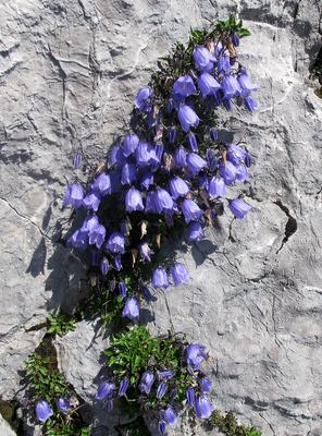 Alpen-Glockenblumen
