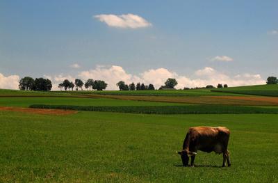 Kuh mit viel Platz