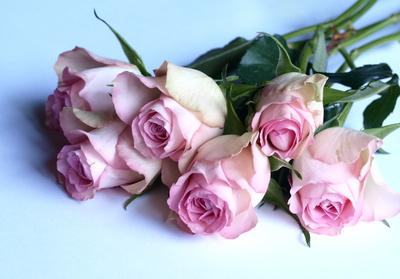 Rosen liegend