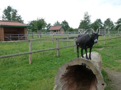 Ziege auf dem Baumstamm