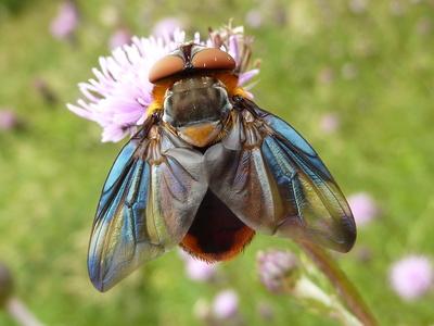 Schöne, große Fliege
