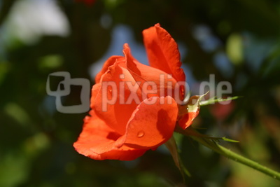 Rose Apricot