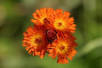Blume orange/gelb benetzt